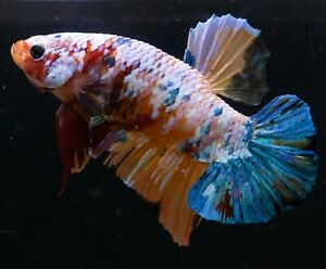 Male Betta Orange Multicolor Galaxy live fish HMPK Plakat Fighting fish :Big Boy