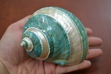 """PEARL GREEN MOTHER OF PEARL BANDED TURBO SEA SHELL HERMIT CRAB 4"""" - 4 1/2"""" #7067"""
