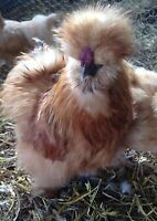 10 + Silkie Hatching Eggs  NPIP