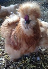 10 + Silkie Hatching Eggs  NPIP
