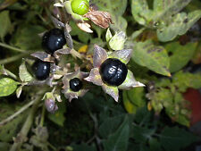25 Atropa belladonna seeds Wicca herb deadly nightshade Devil's cherry USA