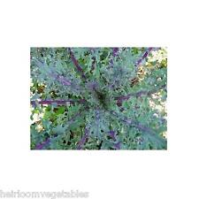 Red Russian Heirloom Kale 1,000 seeds. ***SAME DAY SHIPPING***