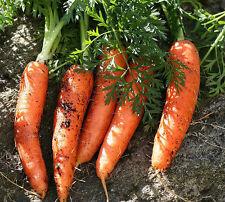Karotten-Gemüsesamen