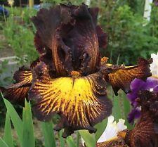 Tall Bearded Iris ~ Tuscan Summer~
