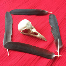 genuine crow skull witchcraft goth pagan altar display bones animal bird raven