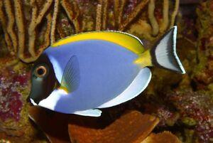 Powder Blue Surgeonfish - Acanthurus Leucosternon (Small)