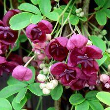 2 Akebia quinata + 2 Akebia trifoliata chocolate vine perennial seeds
