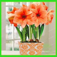 5 Bulbs - Amaryllis Bulbs,True Hippeastrum Bulbs Flowers (Not Hippeastrum seeds)
