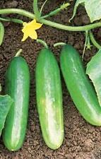 Cucumber Bush Pickle Vegetable Seeds