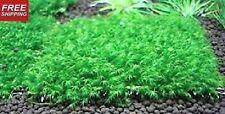"Fissidens Fontanus 3""x3"" - Live Aquarium Moss Water Plants Tropical Fish Tank"