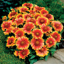 200+BLANKET FLOWER American Native Wildflower Seeds Perennial Butterflies Garden