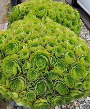 Japanese Giant Sempervivum Succulents 7 dollars 0Ne large jumbo Pup