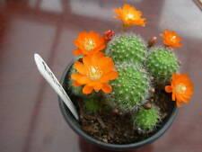rubutia pulvinosa ssp pulvinosa-orange fl 3.1 cms dia  clustering stems