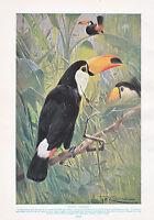 1910 Naturel History Double Faces Imprimé Greater Spotted Pic / Géant Toucan