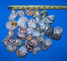 30 assorted TURBO HERMIT CRAB SEASHELL SEA SHELL FISH TANK CRAFTS DECOR