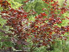 Roter Haselnussbaum, ca.100 cm inkl.Topf