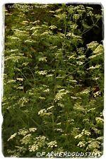 Conium maculatum 'Poison Hemlock' [Ex. Teesside, England] 200+ SEEDS