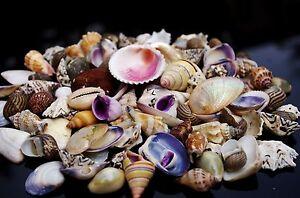 50 + Natural Beach Mixed  SeaShells 100g Mix Shells Craft SeaShells
