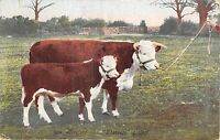 POSTCARD   ANIMALS      CATTLE           Tuck
