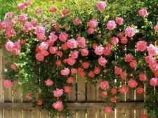 5 PINK CLIMBING ROSE Rosa Bush Vine Climber Fragrant Butterfly Flower Seeds