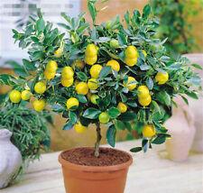 FD608 Rare Lemon Tree Indoor Outdoor Garden Available Heirloom Fruit Seeds 10PCs