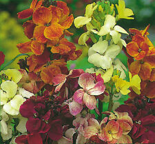 FLOWER WALLFLOWER ENGLISH FAIR LADY MIX  3 GRAM ~ 1800 SEEDS
