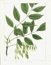 ANTIQUE BOTANICAL PRINT - GREEN ASH [TREE - STEM, LEAVES & SEEDS] COLOR LITHO