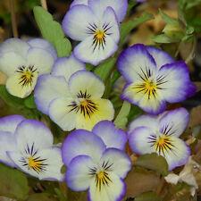 Flower seeds - Viola Tricolor Violet and White
