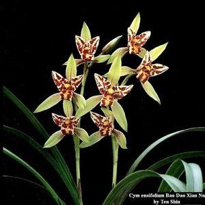 TS421.39 Cym ensifolium Bao Dao Xian Nu Bare Root A118