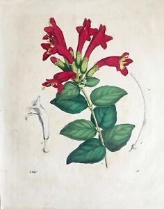 Gravure ancienne Aquarellée Fleur 1848 Botanique - Antique Engraving