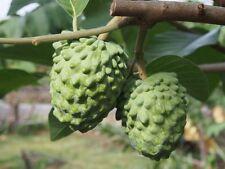 Atemoya (Geffner) Tropical Fruit Trees