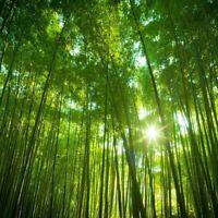 Chin. RIESENBAMBUS Samen 1000 Stück - Moso Bambus - Winterhart Sichtschutz RARE