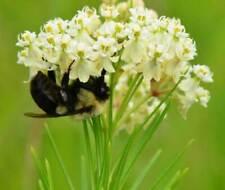 Asclepias verticillata | Whorled Milkweed | Horsetail|  50-Seeds