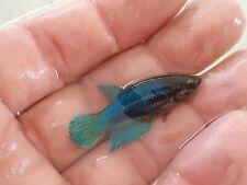 New listing Betta fish live female green (Juvenile)�