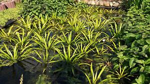 1 Krebsschere, Stratiotes aloides, Wasseraloe, Algenbekämpfung,Mutterpflanze