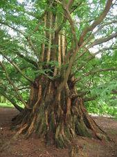 100 x Dawn Redwood tree seeds (metasequoia glyptostroboides) tree seeds.