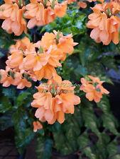 Seeds Orange Marmalade Multi-use Ornamental Plant Crossandra infundibuliformis