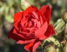 Climbing rose Crimson Cascade highly scented crimson red bare rooted