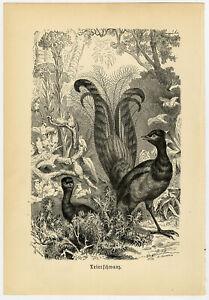 Antique Print-LYREBIRD-AUSTRALIA-Brehm-1890
