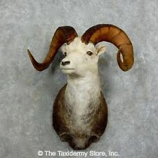 #17163 E+ | Stone Sheep Taxidermy Shoulder Mount For Sale