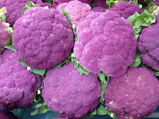 200 Graines de Choux Fleur Violet de Sicile /  Potager Légumes