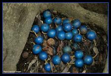 Elaeocarpus grandis Blue Quandong 15 Seed Bushtucker