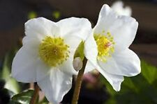 15+ WHITE CHRISTMAS ROSE HELLEBORUS FLOWER SEEDS / WINTER BLOOMING  PERENNIAL