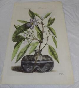 """Newer Antique Reprint//1880s ORANGE TREE, 16x26"""", (Orange Bloeyzel)"""