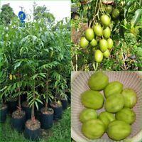 60cm tall June Plum, Plant Spondias dulcis, Ambarella plum, Tropical Fruit