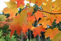 3 Gram Seeds (approx 36 seeds) of Acer saccharum, Sugar Maple, Hard Maple