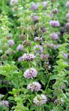 200 PENNYROYAL Mint Mentha Pulegium Herb Flower Seeds