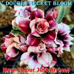 Desert Rose Seeds Adenium Pack of 5 Seeds FREE POSTAGE New Colours Triple