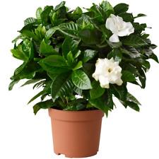 1 X GARDENIA JASMINOIDES CAPE JASMINE HEALTHY ORNAMENTAL INDOOR PLANT IN POT