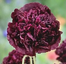 Poppy Double Black Flower Seeds Packet 1 Gram Deep Dark Blooms Usa Poppies gift